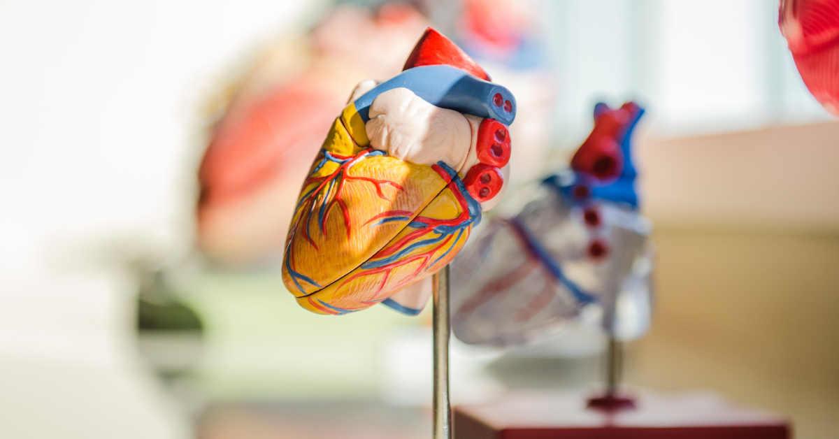 Imagine di un cuore umano. Il cuore è rivestito dal pericardio che può essere aggredito da un tumore: il mesotelioma pericardico